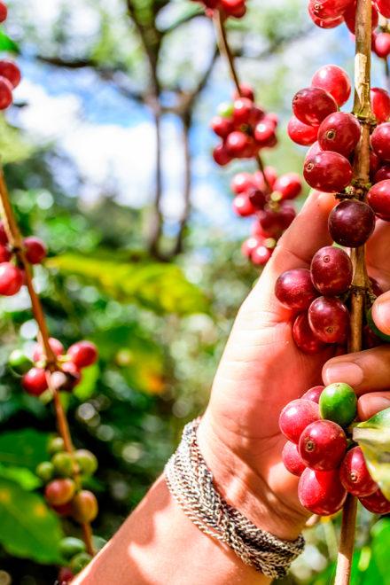 El café guatemalteco: su productividad y competitividad